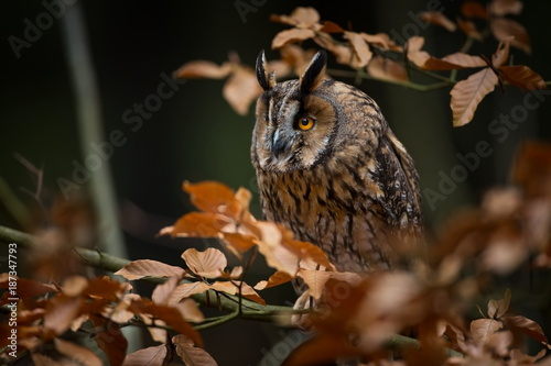 Asio otus. Expanded throughout Europe. Photographed in the Czech Republic. From Owl's Life. Nature. Owl. Beautiful owl photo. Owl on the tree. Free nature. The wild nature of the Czech Republic.