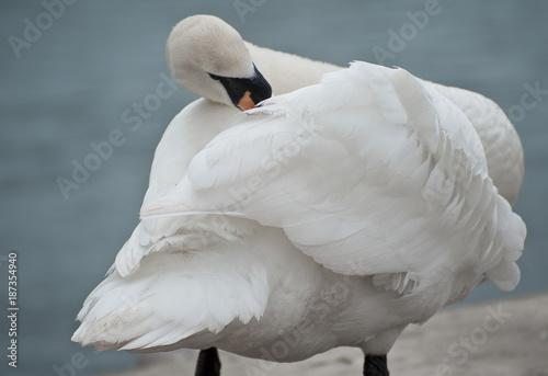 Fotobehang Zwaan Swan preening feathers