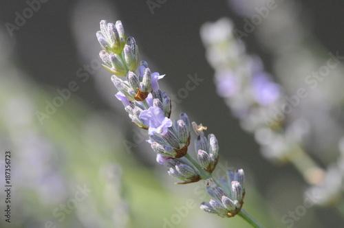 Lavendel - 187356723