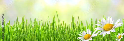 Panel Szklany Wild daisies in the fresh spring green grass with drops of dew, border design panoramic banner