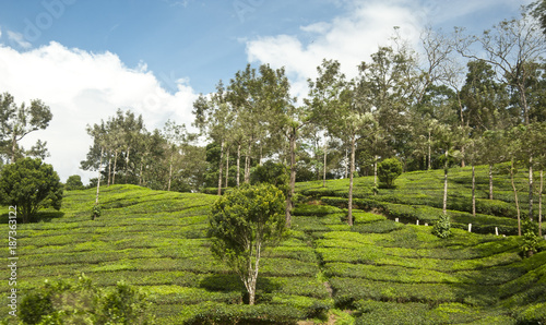 Staande foto Pistache Tea plantation Kerala India
