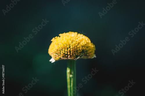 Aluminium Paardebloemen Close Up of a Yellow Flower Center