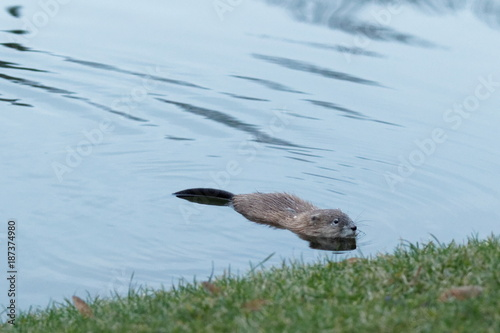 Foto op Plexiglas Kiev Muskrat (Ondatra Zibethicus) swims along in reflective and sparkling clear blue water Kiev Ukraine 2018
