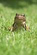 Kiekeboe Frog