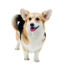 dog welsh corgi pembroke