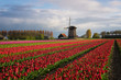 Colorful rows of tulips in front of a windmill