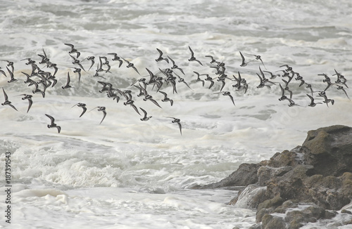 Flock of shorebirds in flight over sea - 187391543