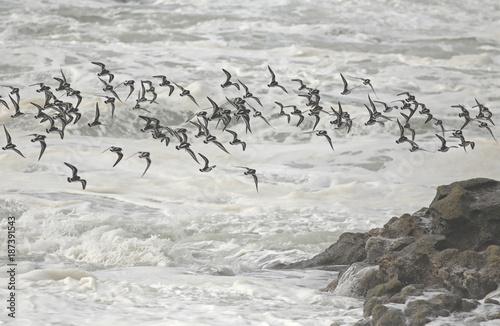 Flock of shorebirds in flight over sea - 187391543
