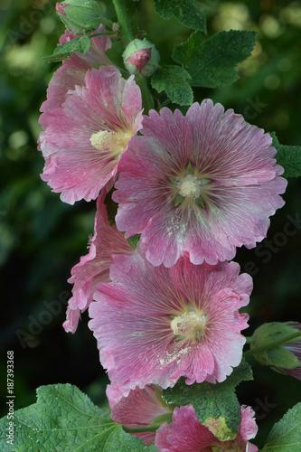 Fotobehang Iris Gladiola Pink