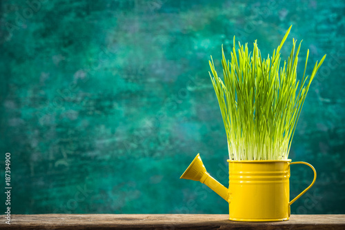 Foto op Plexiglas Gras Watering can with grass growing, spring gardening concept