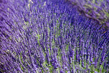 Closeup of lavender field in Provence, France