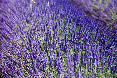 Closeup of lavender field in Provence, France - 187395344
