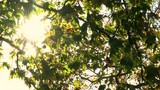 Sunlight glinting through the leaves of a horse chestnut or conker tree in Fall or Autumn - 187397961