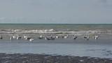 Goéland cendré ( Larus canus , Mew Gull ) sur la plage de Quend-Plage - 187439395