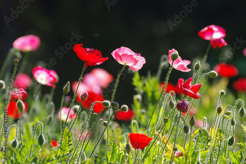 red poppy in nature - 187439328