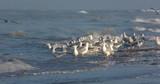 Goélands cendrés (Larus canus ,Mew Gull) sur la plage de Quend-Plage - 187440357