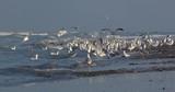 Goélands cendrés (Larus canus ,Mew Gull) sur la plage de Quend-Plage - 187440589