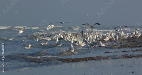 Goélands cendrés (Larus canus ,Mew Gull) sur la plage de Quend-Plage