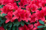 spring blooming lush fresh rhododendron azalea flowers
