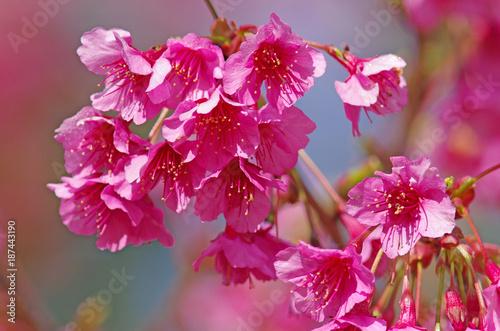 Fotobehang Azalea pink cherry blossom