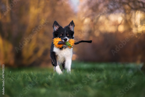 happy border collie dog runs with a toy in mouth Poster