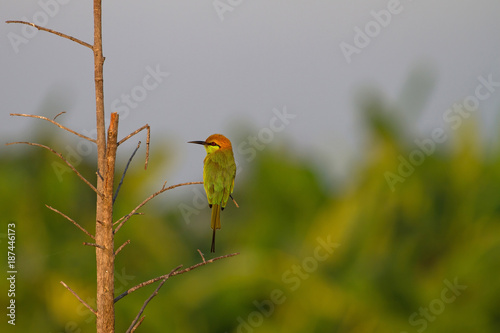 Fotobehang Bee Green Bee-eater perching on a branch in nature