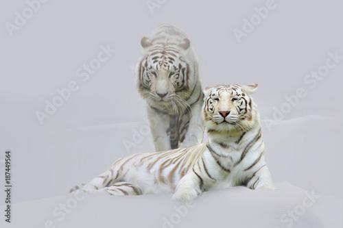 Zwei weiße Königstiger im Schnee, Panthera tigris tigris Poster