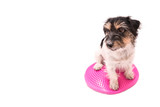 Small dog on balance pad - Cute Jack Russell Terrier doggie, 3 years old, hair style rough