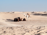 Desert of Douz,Tunisia,camels stopped under a dune to rest - 187449976