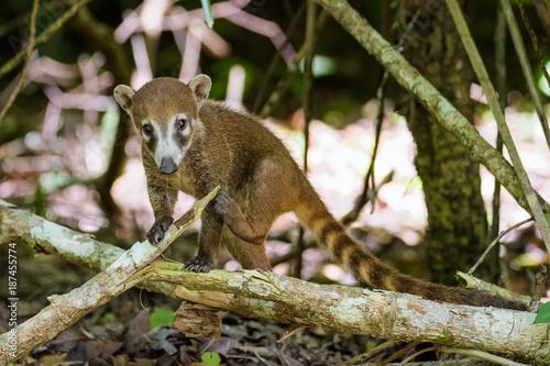 Foto Murales Coatimundi in a forest in Guatemala