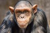 Portrait of a chimpanzee