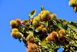 detail of ripe chestnuts - 187458160