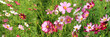 Pink cosmos flower field in sunshine, photo set. - 187459713