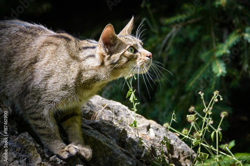 Wild cat looking into the sky Poster