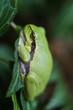 Treefrog on poison ivy