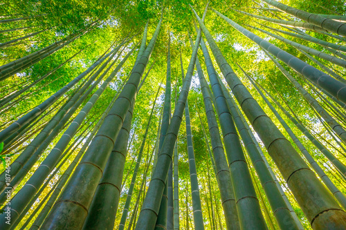 Fotobehang Bamboe Green bamboo background. From the bottom to the top view of grove of bamboo garden. Take-dera Temple or Hokoku-ji Temple in Kamakura, Japan. Meditative and buddhism concept.