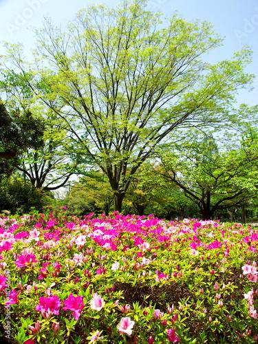 Fotobehang Azalea 新緑の欅と躑躅