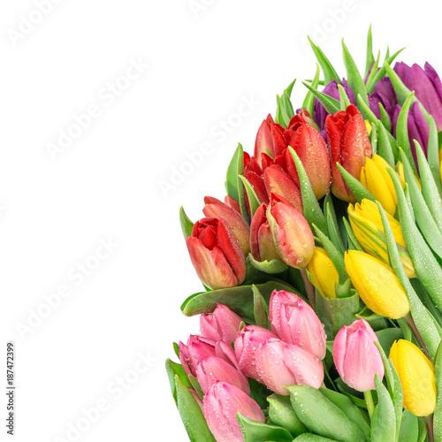 Foto Murales Tulip flowers fresh spring blooms water drops