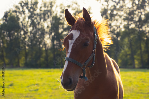 Portrait of foal on pasture. Horse head in backlight