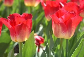 Tulipes rouges au printemps au jardin