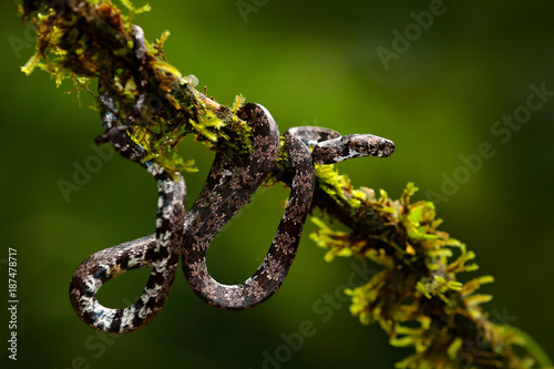 Staande foto Afrika Puffing Snake, Pseustes poecilonotus, in dark habitat. Non venomous snake in the nature habitat. Poisonous animal from South America. Yellow blue snake in the nature. Wildlife Costa Rica