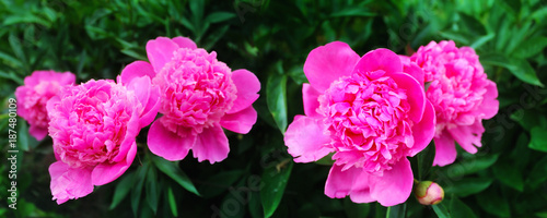 Fotobehang Roze Panoramic image of pink peonies on a green background in the garden