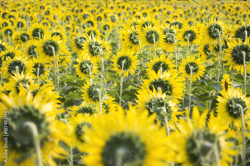 Fotobehang Oranje Field of sunflowers with the bright sunlight. Sunflower photos on the rear.