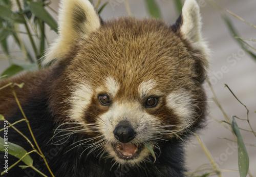 Fotobehang Panda Kleiner Panda
