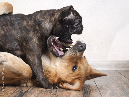Fotobehang Franse bulldog Fight huge and small dogs
