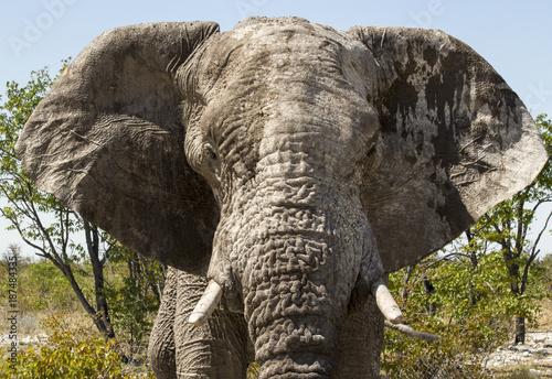 Afrikanischer Elefant Poster