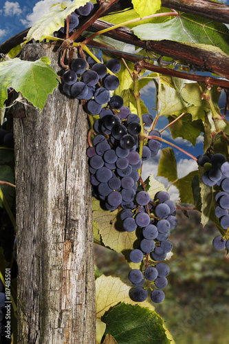 The matured vine on the winery