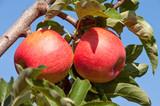 Äpfel Sorte Pinova