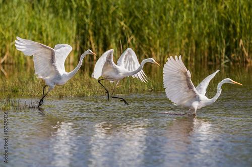 Fotobehang Zwaan Montage d'un saut de Grande aigrette dans les marais