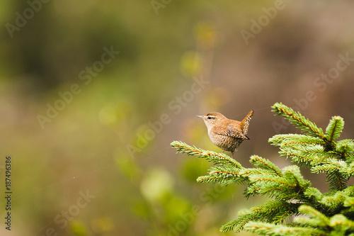 Foto op Canvas Natuur Un troglodyte mignon sur une branche